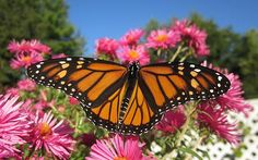 Fresh Monarch Butterfly spreads his wings while enjoying pink asters on a clear late Summer day.