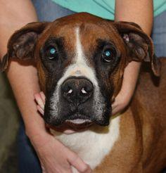 Boxer dog for Adoption in Nashville, TN. ADN-481749 on PuppyFinder.com Gender: Male. Age: Adult