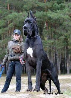 Italian Mastiff ... I've heard of an Italian Stallion!