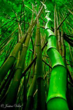 Bambú forest
