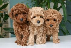 Cockapoo puppies - beautiful, animals et dogs image sur We Heart It Cute Little Animals, Cute Funny Animals, Little Dogs, Cockapoo Puppies, Goldendoodles, Labradoodles, Toy Poodle Puppies, Toy Goldendoodle, Toy Poodles