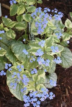 We love this plant Brunnera macrophylla 'King's Ransom' is a white-edged sport…