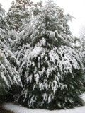 Pine trees adorned in fresh snow