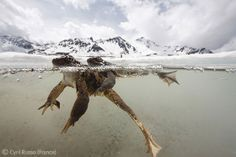 Cold embrace - Cyril Ruoso - Wildlife Photographer of the Year 2011 : Behaviour: All Other Animals - Highly commended