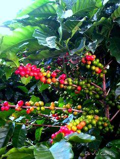 Alegría en el cafetal - COSTA RICA.