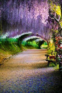 Wisteria flower tunnel Japan