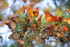 Monarch Butterfly Roost on Long Island, New York