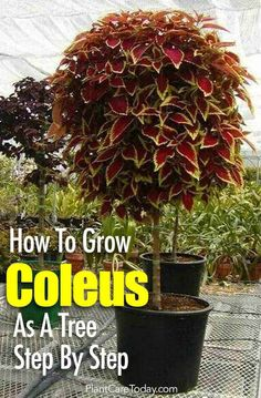 Helpful Guidelines In Growing Indoor Bonsai Trees Grow The Colorful Coleus As A Standard Coleus Tree This Season. We Walk You Through The Steps To Create Your Own Coleus Topiary Learn Outdoor Plants, Garden Plants, Terrace Garden, Garden Shade, Roses Garden, Garden Shrubs, Outdoor Gardens, Container Plants, Container Gardening