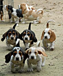 Baby basset hounds!