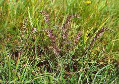 Rödtoppa är mindre allmän och förekommer från Skåne till Gästrikland. Den växer i kulturpåverkad gräsmark, vägkanter och betesmarker, men kan även påträffas på havsstränder.