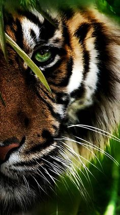 Tiger Wallpaper Hd For Mobile Most Beautiful Animals, Beautiful Cats, Beautiful Creatures, Tiger Pictures, Wild Animals Pictures, Tiger Wallpaper, Animal Wallpaper, Image Tigre, Animals And Pets