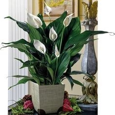 The Peace Lily (Spathiphyllum 'Mauna Loa') is well known for its positive effects on indoor air quality. Considered an easy-care and attractive houseplant, the Peace Lily, which tolerates low light and moderate to high humidity, is characterized by its thick, glossy leaves and dramatic white blooms.