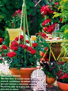 Róże w pojemnikach (doniczkach) Stanowisko i pojemniki do uprawy róż Róże w pojemnikach (doniczkach), pojemniki do uprawy róż, zasady pielęgnacji róż – porady o różach
