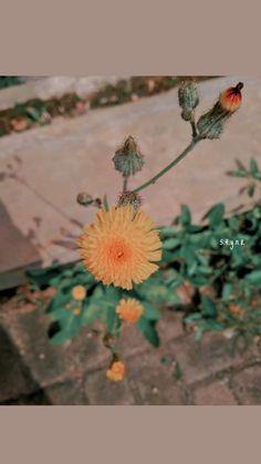 Yellow Flowers, Wild Flowers, Snapseed, Creative Photography, Dandelion, Photo Editing, Korea, Random, Plants