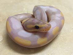 Banana Fire Sugar - Morph List - World of Ball Pythons