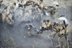 The raw brutality of nature was captured in this entry, which shows African wild dogs attacking a warthog in Northern Botswana