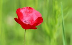 Photo Glory Of A Poppy by Eva Komenda on 500px