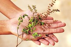 This article describes the common medicinal uses of Tulsi, the Holy Basil, a common herbal cure for Hindus.