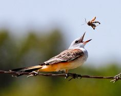 Scissor-tailed Flycatcher vs. Grasshopper. Flycatcher wins… (by Harald Miller)