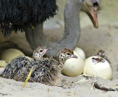 The Ostrich herd at Switzerland's Zoo Basel has grown significantly with the hatching of ten chicks since December 20 to mother Manyara, age and father Baringo, age Manyara and Baringo shared the job of incubating their eggs, with. Baby Hippo, Baby Animals, Cute Animals, Animal Babies, Baby Ostrich, Ostriches, Flightless Bird, Africa Travel, Bird Watching
