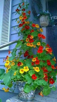 Pflanzideen Flowering indoor plants for beginners, # beginners # flowering # for # indoor plants Are Container Flowers, Flower Planters, Container Plants, Container Gardening, Container Design, Gardening Zones, Fine Gardening, Gardening Vegetables, Flower Pots