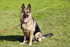 Choosing the best dog training collar for your dog Police Dog Training, Leash Training, Training Your Puppy, Dog Training Tips, Training Collar, Mites On Dogs, Self Defense Women, German Shepherd Puppies, German Shepherds