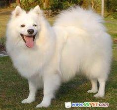 American Eskimo dog - white angel
