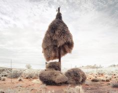 Massive sociable weaver bird nests built on telephone poles in Southern Africa are home to multiple species of birds