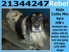 **Fort Worth, TX**CURRENT STATUS: Must be tagged for adoption or rescue by 9am on 10/29/13**  Reason for URGENT STATUS: Heartworm POSITVE  Animal ID: 21344247 (not on city site) Name: Rebel Breed: Collie mix Sex: Male Heartworm POSITIVE https://www.facebook.com/photo.php?fbid=563678703704228&set=a.563031503768948.1073742116.137921312946638&type=3&permPage=1