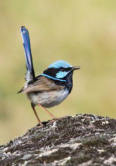 Sinikurkkumaluri (Malurus cyaneus), joka tunnetaan myös upea sininen-peukaloinen tai puhekielessä kuin sininen peukaloinen, on varpuslintu lintu
