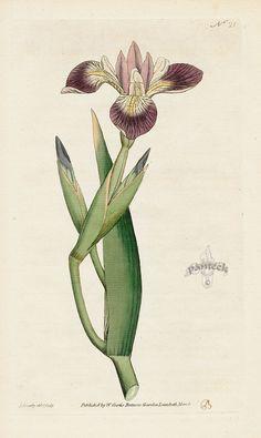 Iris Versicolor. Particoloured Iris. from William Curtis Botanical Magazine 1st Edition Prints Vol 1-6 1787