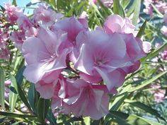 pics of oliander | File:Nerium oleander HRM6.jpg - Wikimedia Commons
