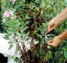 Keep your garden looking pretty and orderly by regularly thinning and deadheading.
