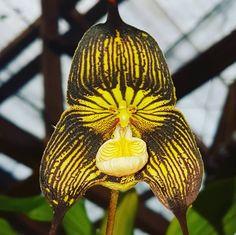 Dracula vampira... totalmente aberta #flowers #flower #TagsForLikes #petal #petals #nature #beautiful #love #pretty #plants #blossom #sopretty #flowerstagram #flowersofinstagram #flowerslovers #flowerporn #botanical #floral #florals #insta_pick_blossom #flowermagic #instablooms #bloom #blooms #botanical #floweroftheday #orchid #orchids #orquídea #orquídeas #asorquideas
