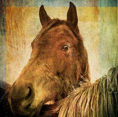 Brown Horse Animal Photograph, fine art photography print, 8x8 via Etsy.