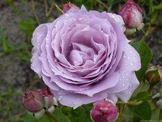 "Rose "" Novalis ® "" , (KORfriedhar) , bred by Tim Hermann Kordes (Germany, 2004) , ( "" Poseidon "" )"