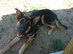 Meet Quincy, a Petfinder adoptable German Shepherd Dog Dog | El Paso, TX | Only ten months old and already being rescued from Animal Services. Probably because he is a puppy...