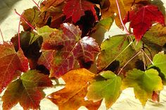 Wax Preserving Fall Leaves - Happiness is Homemade