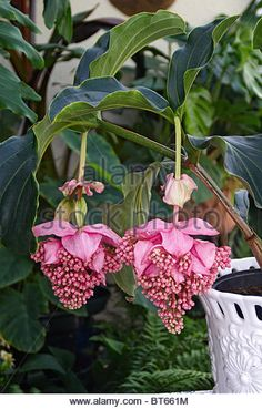 Close up picture of flowering Medinilla magnifica - Stock Image
