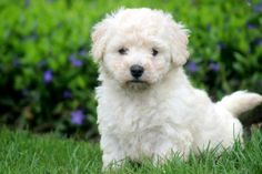 Start the week off right, with this Bichon Frisé.