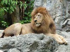 hayvanat bahçesinde aslan ile ilgili görsel sonucu