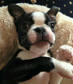 14 Reasons Boston Terriers Are Not The Friendly Dogs Everyone Says They Are - Dog Red Line Boston Terriers, Boston Terrier Love, Terrier Puppies, Pitbull Terrier, Cute Puppies, Cute Dogs, Baby Animals, Cute Animals, Pugs