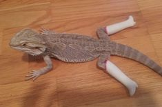 This teenage bearded dragon with go-go boots: | 28 Animals Who Have Made A Huge Mistake #beardeddragonfunny