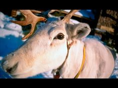 Great video about reindeer in Lapland, including scenes from a reindeer race where skiers are pulled by the deer!