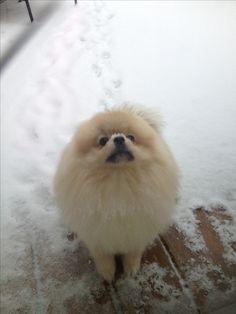 Pomeranian Charlie playing on my sympathy