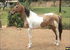 Campolina - Apache Campolina, Suffolk Punch, Pinto Horses, Horse World, Horse Love, Dressage, Brazil, Roman, Cute Animals