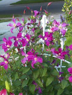 I Love My Garden: 'inspiration' clematis