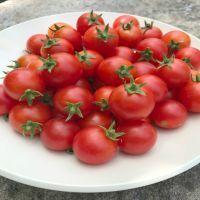 Cherry Falls Cherry Tomato | John Scheepers Kitchen Garden Seeds Cherry Tomato Plant, Red Tomato, Tomato Plants, Cherry Tomatoes, Determinate Tomatoes, Make Up Your Mind, Garden Seeds, Hanging Baskets, Vegetables
