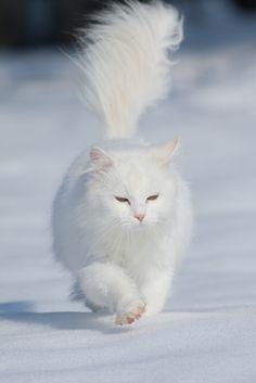 walking in the snow like a boss - white long haired cat walking in the snow like a boss