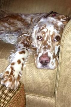 English Setter (Lawerack/Laverack/Llewellin/Blue Belton) by Charming Junk Baby Dogs, Pet Dogs, Dogs And Puppies, Dog Cat, Doggies, Love My Dog, Irish Setter, English Setter, Beautiful Dogs